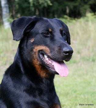 Beauceron Pentuja 2013 Best beauceron puppy of the